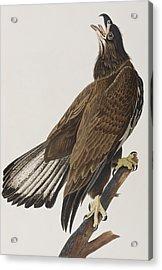 White-headed Eagle Acrylic Print by John James Audubon