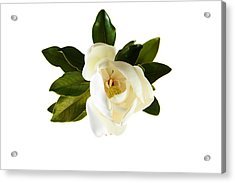 White Magnolia Flower And Leaves Isolated On White  Acrylic Print by Michael Ledray