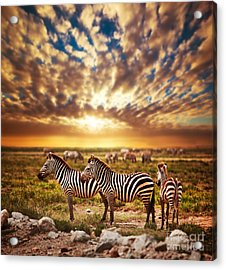 Zebras Herd On African Savanna At Sunset. Acrylic Print by Michal Bednarek