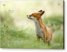 Zen Fox Series - Zen Fox Acrylic Print by Roeselien Raimond