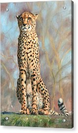 Cheetah Acrylic Print by David Stribbling
