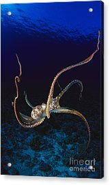 Hawaii, Day Octopus Acrylic Print by Dave Fleetham - Printscapes