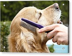 Dog Grooming Acrylic Print by Photo Researchers Inc