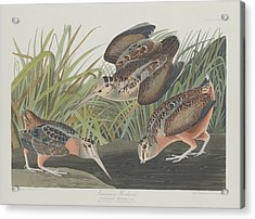 American Woodcock Acrylic Print by John James Audubon