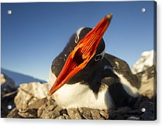 Antarctica, Petermann Island, Gentoo Acrylic Print by Paul Souders