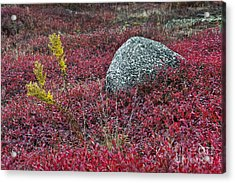Autumn Blueberry Field Acrylic Print by John Greim
