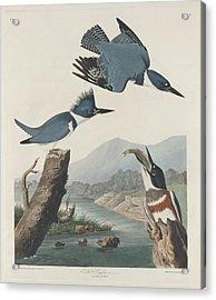 Belted Kingfisher Acrylic Print by John James Audubon