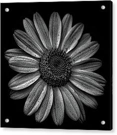 Daisy Acrylic Print by Martin Newman