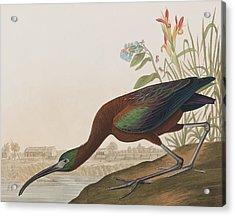 Glossy Ibis Acrylic Print by John James Audubon