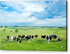 Happy Cows Acrylic Print by Todd Klassy