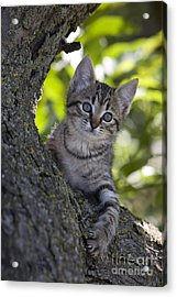 Kitten In A Tree Acrylic Print by Jean-Louis Klein & Marie-Luce Hubert