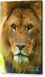 Lion Acrylic Print by Andrew Michael
