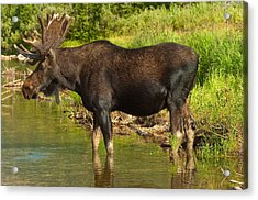 Moose Acrylic Print by Sebastian Musial