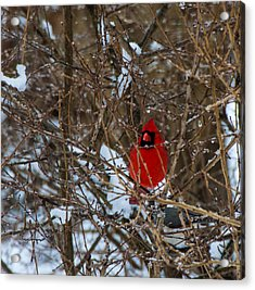 Northern Red Cardinal In Winter Acrylic Print by Jeff Folger