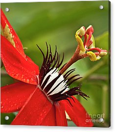 Passionate Flower Acrylic Print by Heiko Koehrer-Wagner