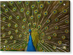 Peacock Acrylic Print by Andrew Michael