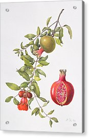 Pomegranate Acrylic Print by Margaret Ann Eden