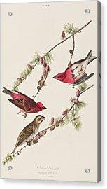 Purple Finch Acrylic Print by John James Audubon