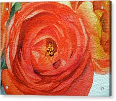 Ranunculus Close Up Acrylic Print by Irina Sztukowski