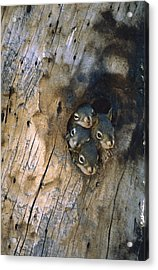 Red Squirrel Tamiasciurus Hudsonicus Acrylic Print by Michael Quinton