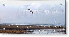 Seagull Acrylic Print by Svetlana Sewell