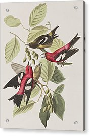 White-winged Crossbill Acrylic Print by John James Audubon