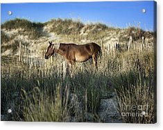 Wild Spanish Mustang Acrylic Print by John Greim