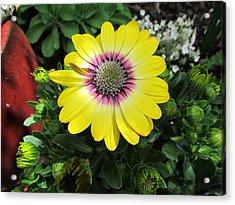 Yellow Daisy Acrylic Print by Joyce Woodhouse