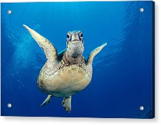 Green Sea Turtle Acrylic Print by Dave Fleetham - Printscapes