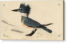 Belted Kingfisher Acrylic Print by John James Audubon