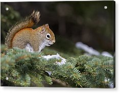 Eastern Grey Squirrel  Sciurus Acrylic Print by Philippe Henry