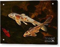 3 Koi Acrylic Print by Terri Mills