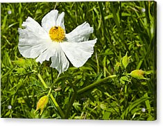 Prickly Poppy Acrylic Print by Mark Weaver
