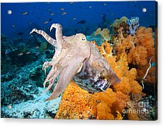 Reef Squid Acrylic Print by Dave Fleetham - Printscapes