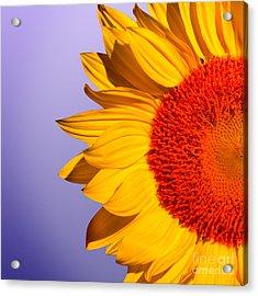 Sunflowers Acrylic Print by Mark Ashkenazi