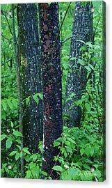 3 Trees Acrylic Print by Joanne Smoley