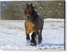 Ardennais Draft Horse Acrylic Print by Jean-Louis Klein & Marie-Luce Hubert