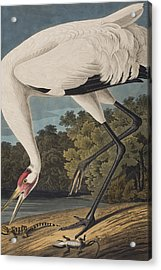 Whooping Crane Acrylic Print by John James Audubon