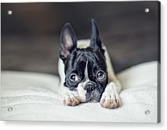 Boston Terrier Puppy Acrylic Print by Nailia Schwarz