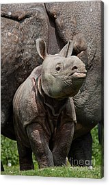 Indian Rhinoceros Rhinoceros Unicornis Acrylic Print by Gerard Lacz