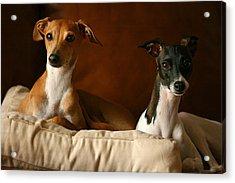 Italian Greyhounds Acrylic Print by Angela Rath