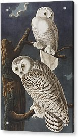 Snowy Owl Acrylic Print by John James Audubon