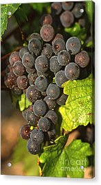 Grapes Growing On Vine Acrylic Print by Bernard Jaubert