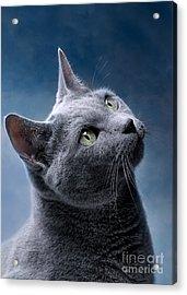 Russian Blue Cat Acrylic Print by Nailia Schwarz