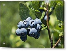 Blueberry Bush Acrylic Print by John Greim