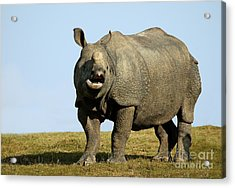 Indian Rhinoceros Rhinoceros Unicornis Acrylic Print by Gerard Lacz