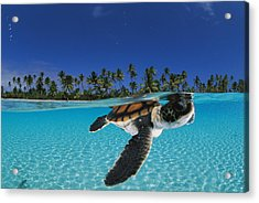 A Baby Green Sea Turtle Swimming Acrylic Print by David Doubilet