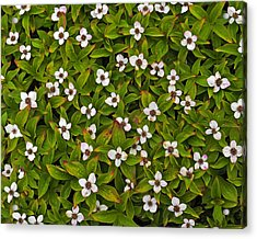 A Bunch Of Bunchberries Acrylic Print by Tony Beck