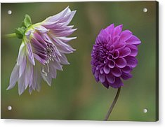 A Conversation Between Dahlias Acrylic Print by Angie Vogel
