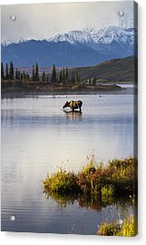 A Cow Moose Stands In Wonder Lake Acrylic Print by Lynn Wegener